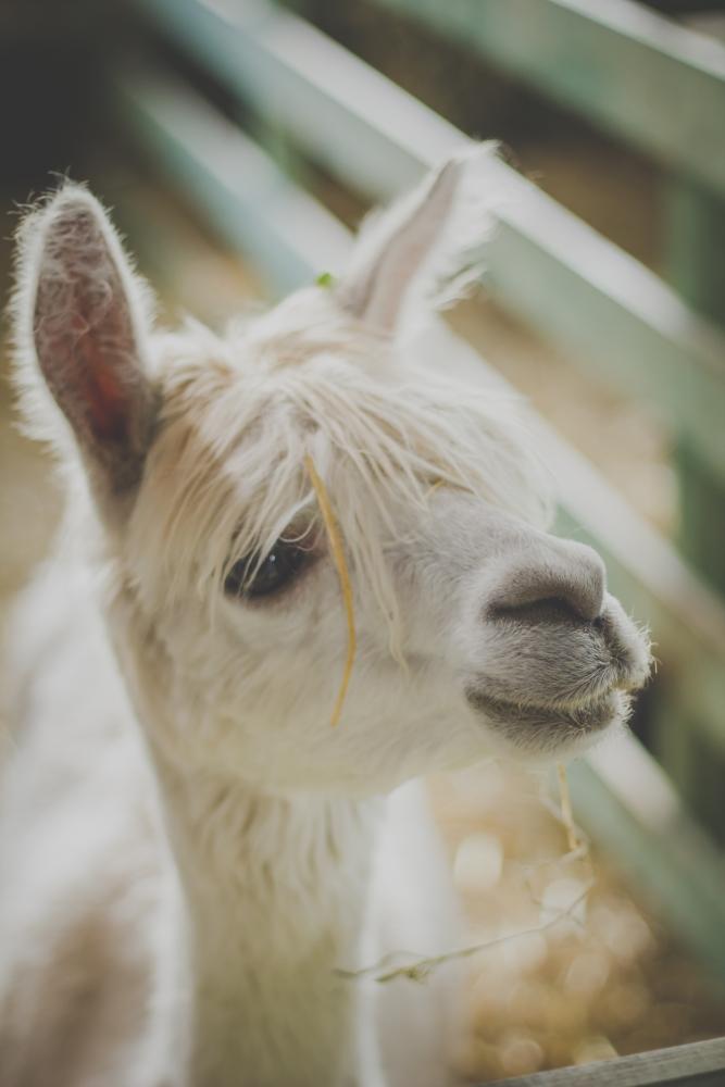 alpaca, levert zeer zachte en fijne wol