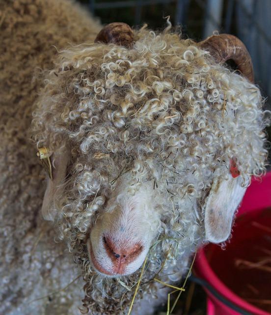 angora geit, levert mohair wol