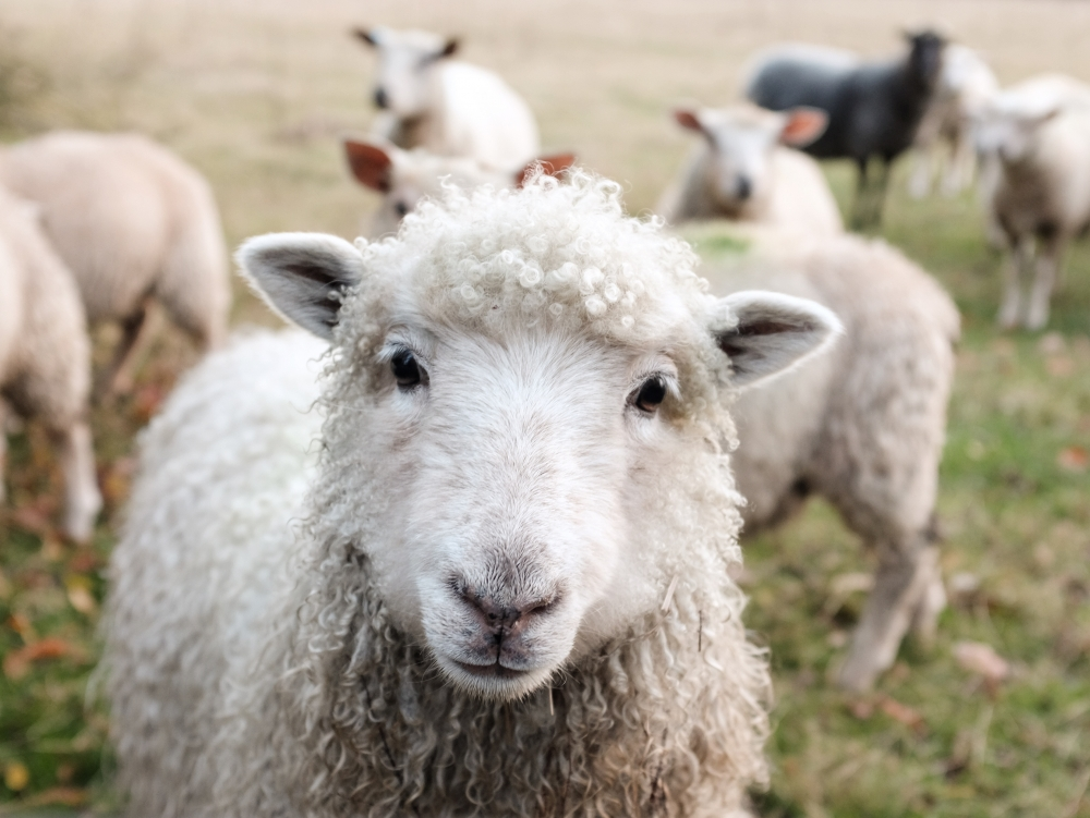 schaap,levert oa.wol met natuurlijk wolvet